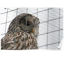 Captive owl Poster