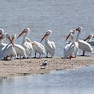 White Pelicans  by CarolM