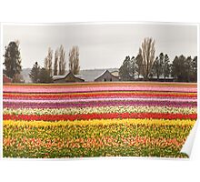Tulip Town in the Skagit Valley Poster