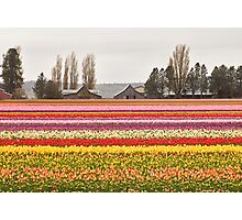 Tulip Town in the Skagit Valley Photographic Print