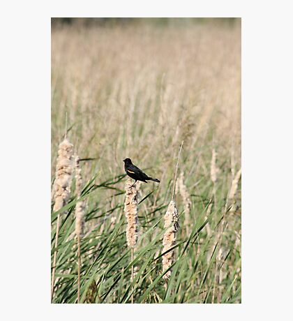 Red Winged Blackbird - Savannah, GA, 2008 Photographic Print