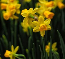 Jolly Jonquils by Karen E Camilleri
