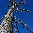 Dead Pine-Yosemite National Park, Ca by Alan Brazzel