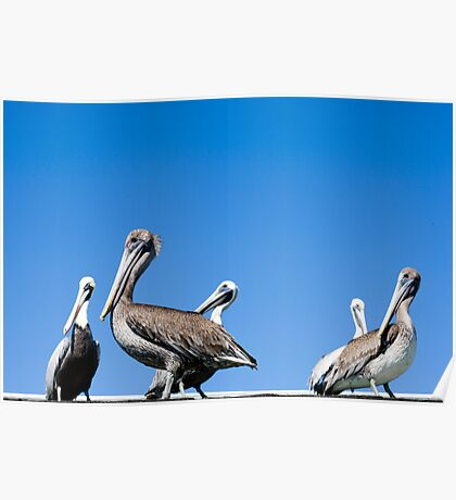 Pelicans against a blue Florida sky Poster