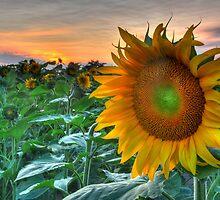 Sunflower Sunset by Michael Lynch