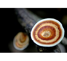 Microporus xanthopus Photographic Print