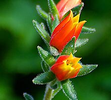 cactus bloom by Rodney55