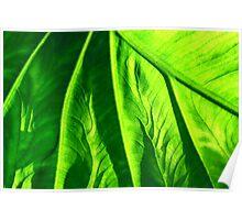 crisp green kalo vein Poster