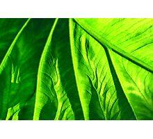 crisp green kalo vein Photographic Print