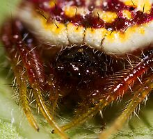 Poecilopachys Australasia - Two-spined spider by PurelyPrime