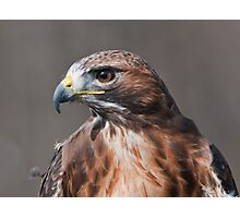 Red Tail Hawk Profile Photographic Print