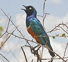 Full of the Joys of Spring - Superb Starling by David Clarke