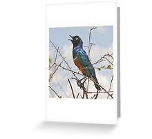 Full of the Joys of Spring - Superb Starling Greeting Card