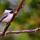 Black Capped Chickadee - Ottawa, Ontario by Michael Cummings