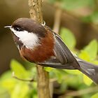 The Chickadee: Feathered Woodland Sprites by Wolf Read