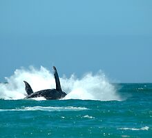 A Southern Right Whale Breaching 02 by serendip