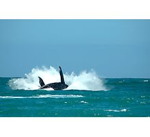 A Southern Right Whale Breaching 02 Photographic Print
