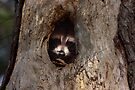 Peek a boo Raccoon by Jim Cumming