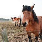 Belgian Draft Horses near Bastogne, Belgium by Jeff Hathaway