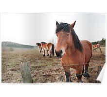 Belgian Draft Horses near Bastogne, Belgium Poster