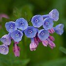 Virginia Bluebells by ElyseFradkin