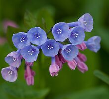 Virginia Bluebells by ElyseFradkin