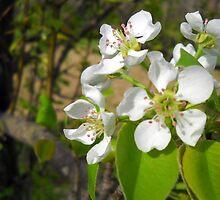 Pear Blossoms by debbiedoda