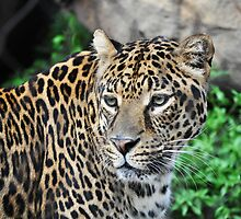 Leopard by INTERACTION