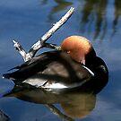 Sleeping Duck by WTBird