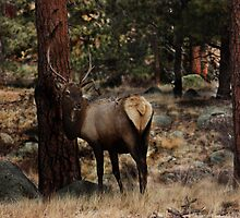 Young Bull Elk In The Aspen by PhotosByMendi