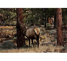 Young Bull Elk In The Aspen Photographic Print
