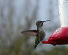 green hummingbird by tego53