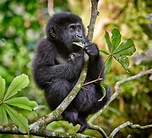 funny and cute juvenile mountain gorilla by travel4pictures