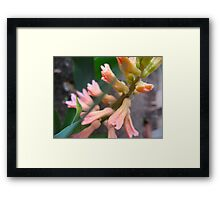 Peach Hyacinth Framed Print