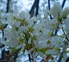 White Blossoms of Spring by Orest Macina