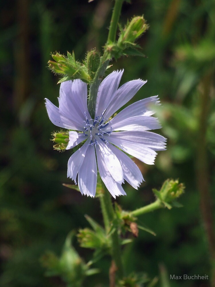 Chicory - Lavender Beauty by Max Buchheit