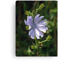 Chicory - Lavender Beauty Canvas Print