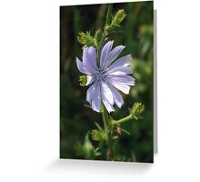 Chicory - Lavender Beauty Greeting Card