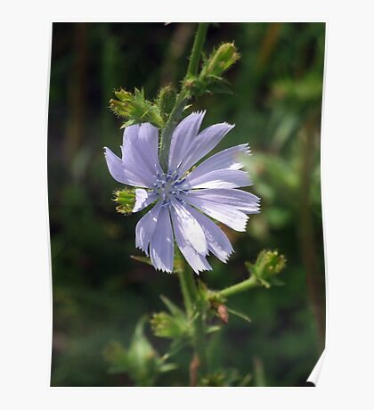 Chicory - Lavender Beauty Poster
