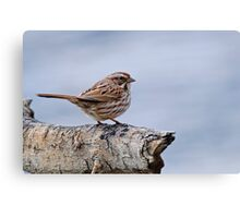Song Sparrow - Ottawa, Ontario Canvas Print