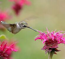 Hummer In The Beebalm by Gary Fairhead