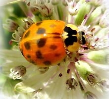 Ladybug in Astrantia by ©The Creative  Minds