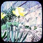 Daffy TTV by Judi FitzPatrick