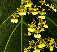 Oncidium Orchid     04/03/10 by Rosalie Scanlon