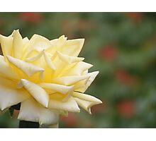Bold Yellow Rose Up Close Photographic Print