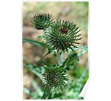 Star Thistle3-Merced River, Ca Poster