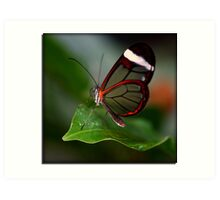 Glass wing Butterfly Art Print