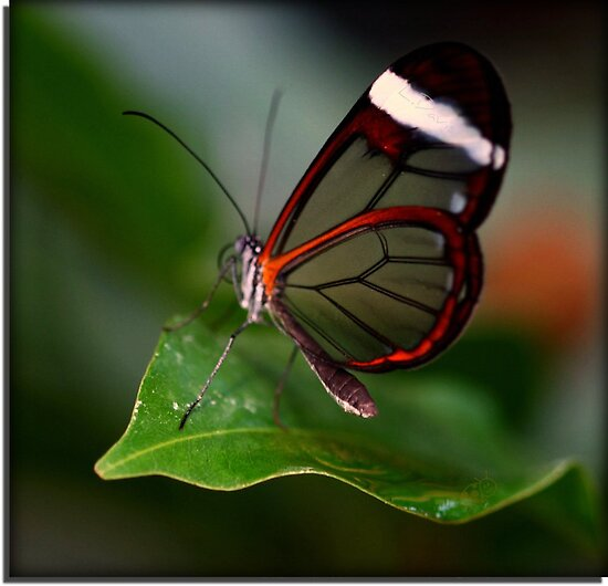 Glass wing Butterfly by WOBBLYMOL