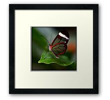Glass wing Butterfly Framed Print