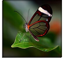 Glass wing Butterfly Photographic Print